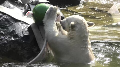 Polar bear cub has some water fun during hot weather