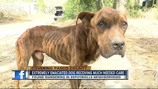 Extremely emaciated dog saved from neglect after concerned neighbors take action - Video