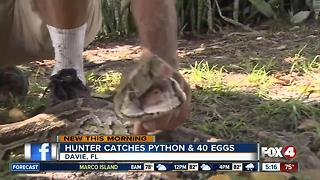 Female Python and her 40 eggs captured in the Everglades - Video