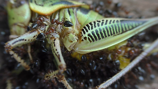 Time lapse captures ants & bees dissecting grasshopper