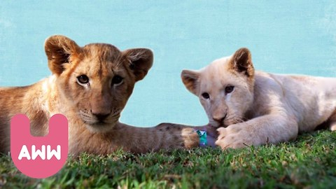 Baby Tiger and Lion Cubs