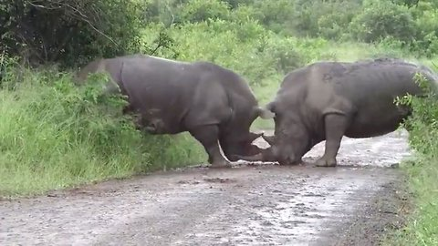 Beating around the bush: savage rhino attack shows one male use its horn to butt rival through bush