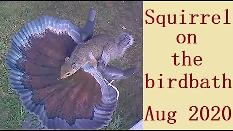 Squirrel on the birdbath in Our Wildlife Oasis - August 2020