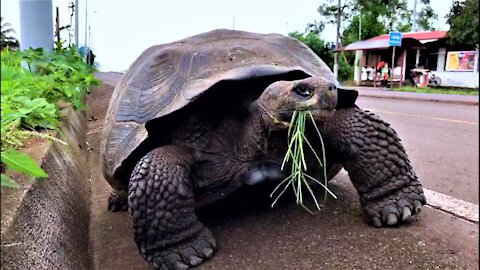 Giant Galapagos tortoise takes a stroll down bike path