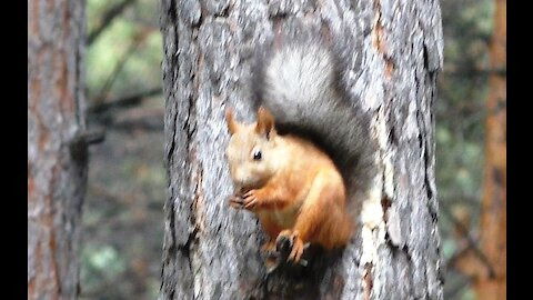 A squirrel on a tree nibbles a nut