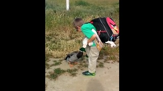 Pet duck greets young boy after school - Video