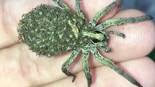 Mama Wolf Spider Carries Babies on Her Back - Video