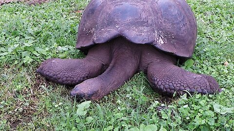 Giant tortoise appears dead but is actually sleeping in the sunshine