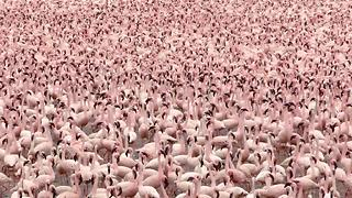 Check Out The Glorious Sight Of Flamingos On Lake Bogoria - Video