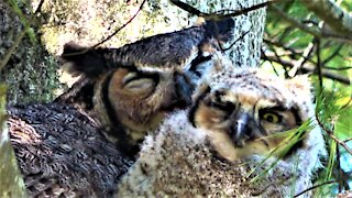 Baby Great Horned Owl Ventures Onto Branch With His Mother