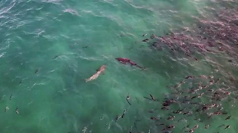 Terrifying footage shows two sharks lurking at popular beach shores just minutes after father is attacked