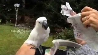 Destructive Cockatoo Takes Out Anger on Newspaper - Video