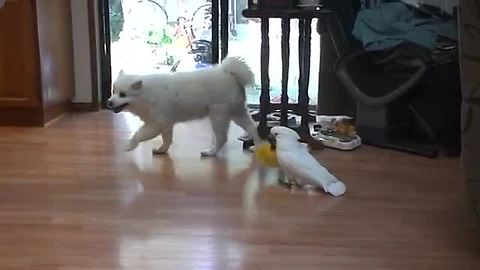 Parrot Rules Game By Chasing Dog With Duster