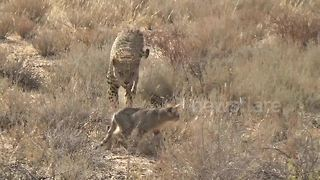Leopard preys on wild cat in Maasai Mara National Reserve - Video