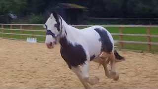 Daring Horse Makes a Run for It While Practising Jumps - Video