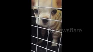 Chihuahua says 'papa' on demand - Video