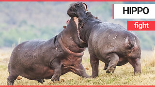 Incredible pictures show two male hippos clashing in an epic riverside fight