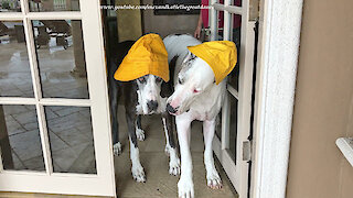 Weather dogs sport their yellow rain hats