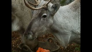 Dobbey The Reindeer Visits The Pub - Video