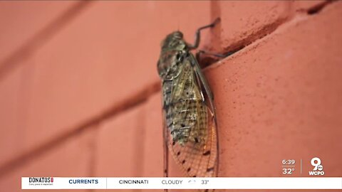 What the cold snap means for the cicadas