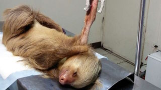 Sloth Released Into The Wild After Surviving Dog Attack: WILDEST ANIMAL RESCUES - Video