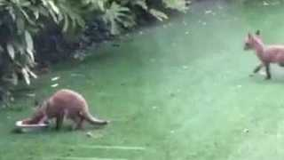 Cheeky Fox Cubs Turn a Garden Into Their Playground - Video