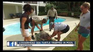 Loggerhead sea turtle trapped in pool - Video