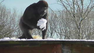 Gorilla youngster loves to play with snow - Video