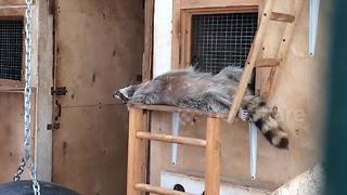 This raccoon knows how to chill - Video