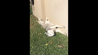 Husky sunbathes in hilariously bizarre position