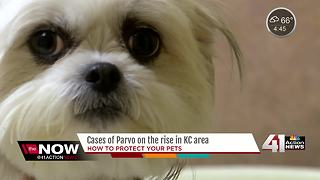Humane Society of Greater KC seeing increase of potentially deadly parvo virus - Video