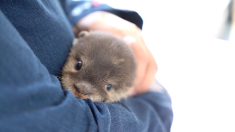 Curious Animal Cafe Where You Can Pet Otters, Chinchillas And Hedgehogs