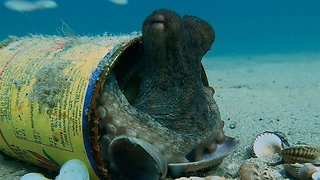 Footage shows how octopus use rubbish as homes as plastic in oceans is set to rise