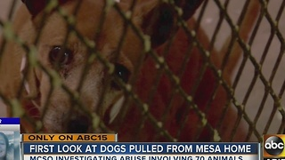 Animals in quarantine after found living in Mesa home - Video