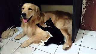 Cute Cat Pesters Dog for Attention - Video