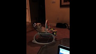 Dog watches TV while sitting in baby's rocking chair