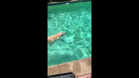 Dog plays fetch with himself in the pool