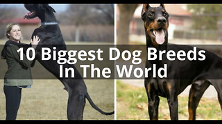 10 Biggest Dog Breeds In The World You'd Want To Own - Video