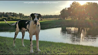 Happy Great Danes Enjoy A Florida Sunset Run and Fun