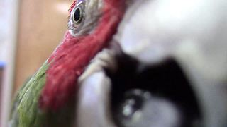 Parrot fascinated by camera, closely examines it - Video