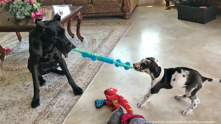 Great Dane plays tug-of-war with fearless puppy