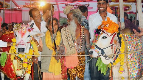 Cow Wedding: Sacred Cow And Bull Are Married In India