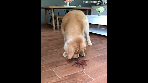 Golden Retriever Tucker reacts to giant spider