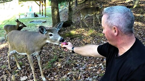 Wild deer come out of the forest to share apples with this man