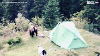 Curious bear invades campers' tent