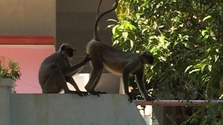 Village monkeys get intimate in careful inspection of behind - Video