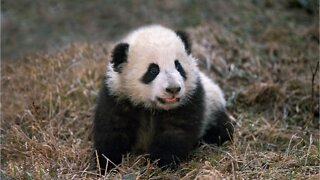 Giant panda at Smithsonian National Zoo gives birth to healthy cub