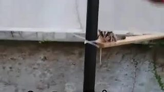 Talented sugar glider dominates obstacle course