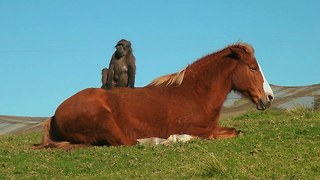 Horse And Baboon Are Animal Best Friends - Video