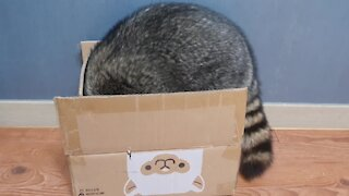Chubby raccoon tries to fit into box, hilariously falls over